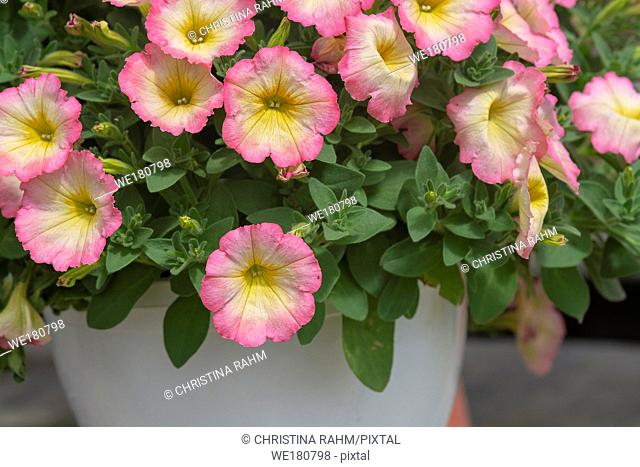 Pink white and yellow calibrachoa petunia like flowers in pot closeup