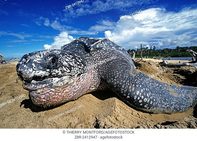 Dermochelys coriacea - Leatherback turtle laying eggs on a beach in French Guiana