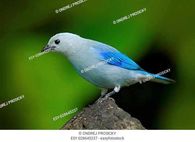 Blue-gray Tanager, exotic tropic blue bird from Panama