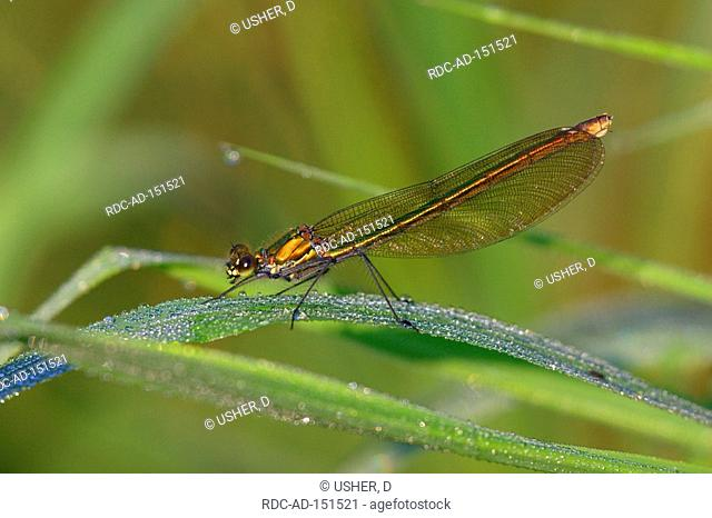 Banded Blackwing female Lower Saxony Germany Calopteryx splendens Agrion splendens Banded Agrion side