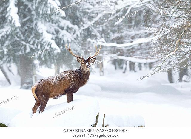 Red deer (Cervus elaphus) in deep snow, Germany