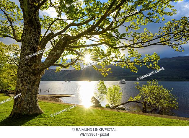 Maple tree on lake shore at sunrise in spring, Loch Lomond, Scotland, United Kingdom