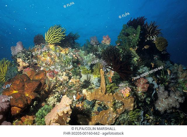 Coral - W2 Reef, Padar, Komodo Island, Indonesia