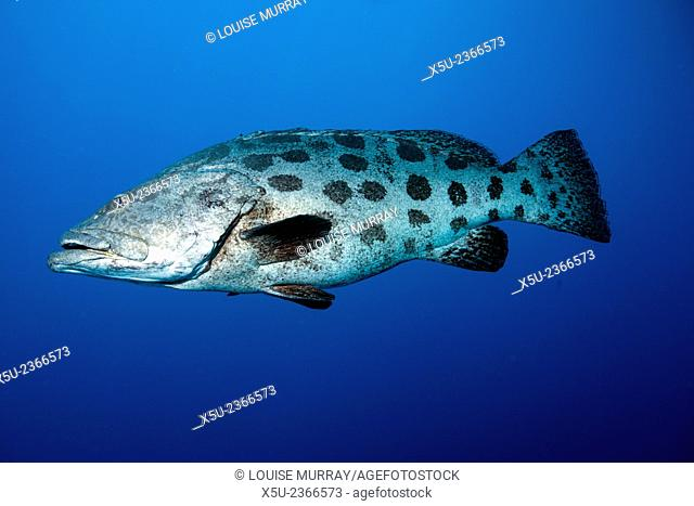 Potato cod, Epinephelus tukula also known as the potato grouper or potato bass. A large family of these fish live at Cod Hole, North Ribbon reef