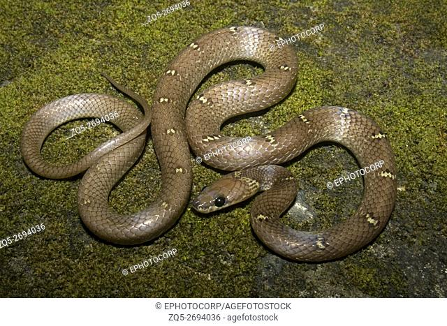 Common Wolf Snake Lycodon aulicus photographed at Aarey Milk Colony