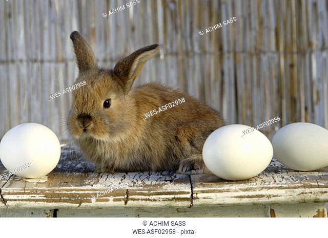 Rabbit on table