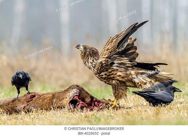 Young Eagle (Haliaeetus albicilla), with ravens (Corvus corax) on dead deer, Masuria, Poland
