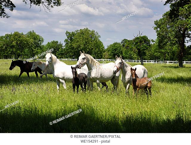 White Lipizzaner mares horse breed with dark foals grazing in a meadow with grass and flowers at the Lipica Stud Farm at Lipica Sezana Slovenia