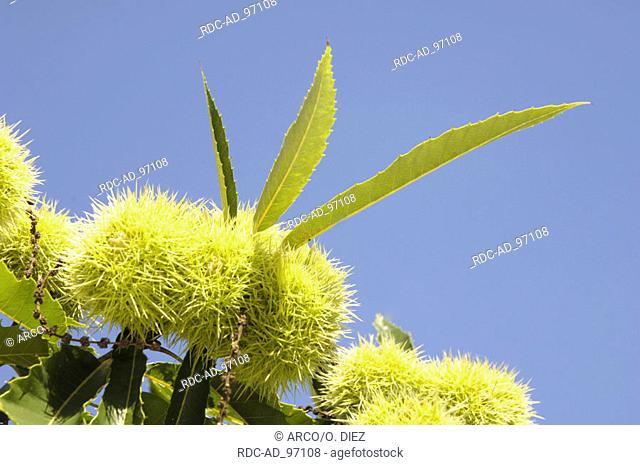 Sweet Chestnut fruits Germany Castanea sativa