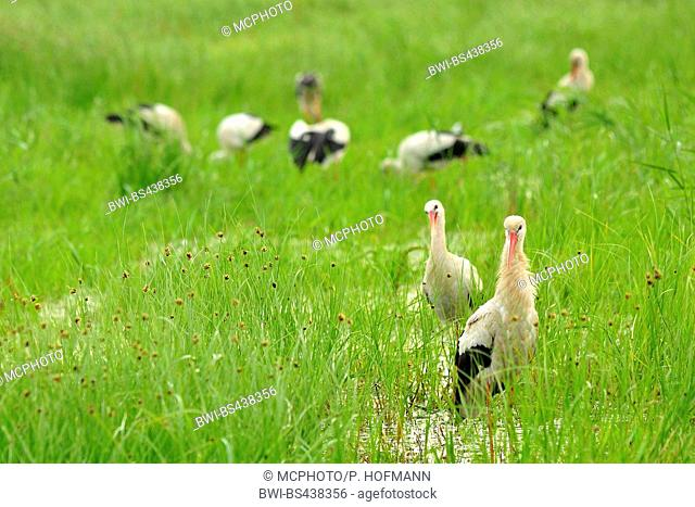 white stork (Ciconia ciconia), group in a meadow with black bog-rush, Germany