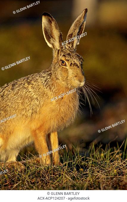 Hare , South America
