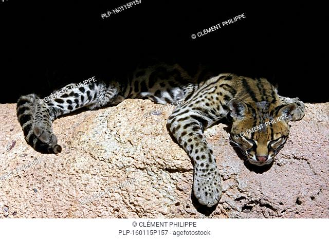 Ocelot / dwarf leopard (Leopardus pardalis / Felis pardalis) resting in the shade in rock face, native to South America, Central America and Mexico
