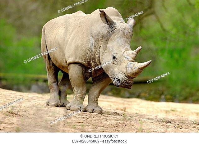 White rhinoceros, Ceratotherium simum, with big horn, Africa