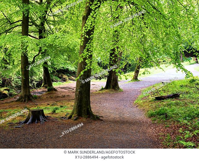 Beech Trees by a Path in Strid Wood at Bolton Abbey North Yorkshire England