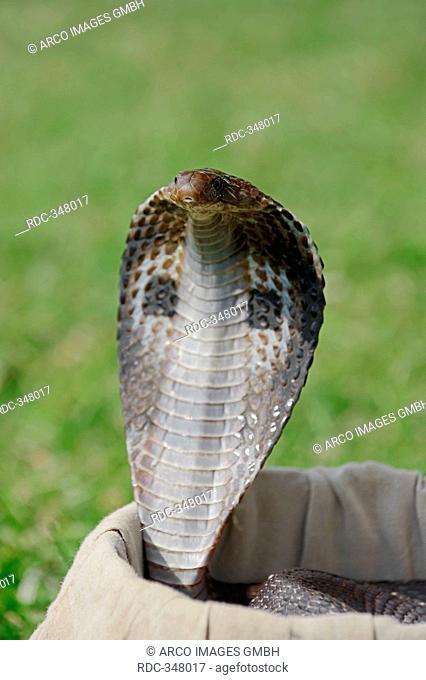 Spectacled Cobra in basket of snake charmer, New Delhi, India / Naja naja / Indian Cobra, Common Cobra, Asian Cobra, New Dehli