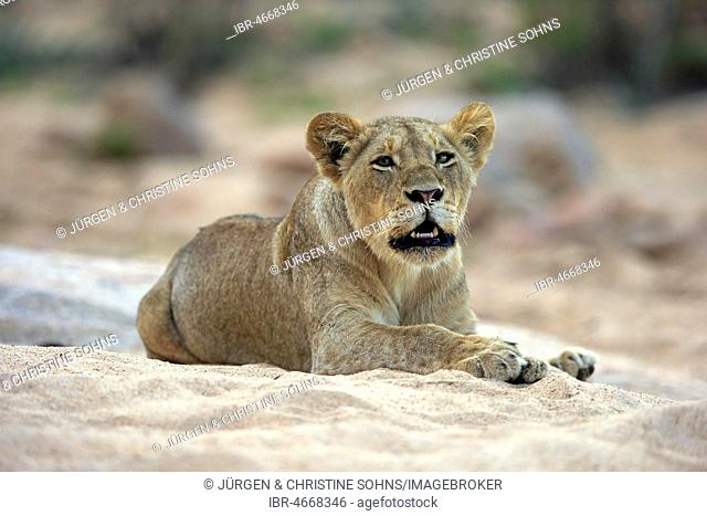 Lioness (Panthera leo), adult female, attentive, scenting, watching, sits in dry riverbed, Sabi Sand Game Reserve, Kruger National Park, South Africa
