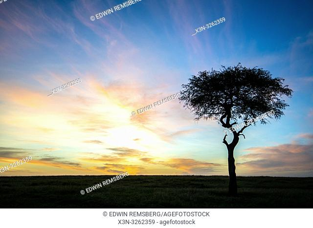 The sun rises over the horizon as a singular Acaci tree stands out in the landscape, Maasai Mara National Reserve, Kenya, Africa