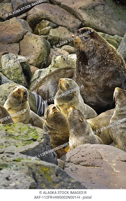 Northern Fur Seal bull keeps watch over his harem of females on St. George Island, Alaska