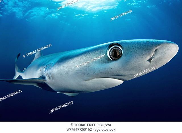 Blue Shark, Prionace glauca, False Bay, Atlantic Ocean, South Africa