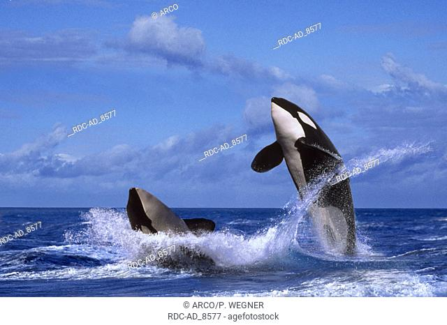 Killerwhales Orcinus orca