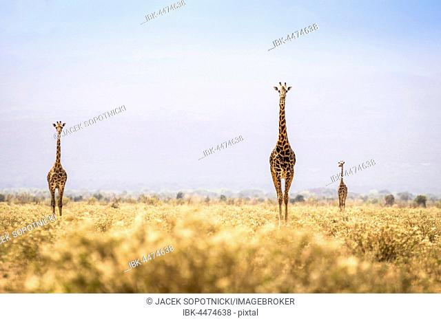 Three giraffes walking through the savanna, Kenya
