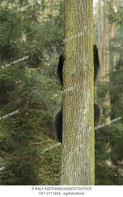 European Brown Bear / Europaeischer Braunbaer ( Ursus arctos ), young playful cub, climbing up a tree, funny point of view, humorous.