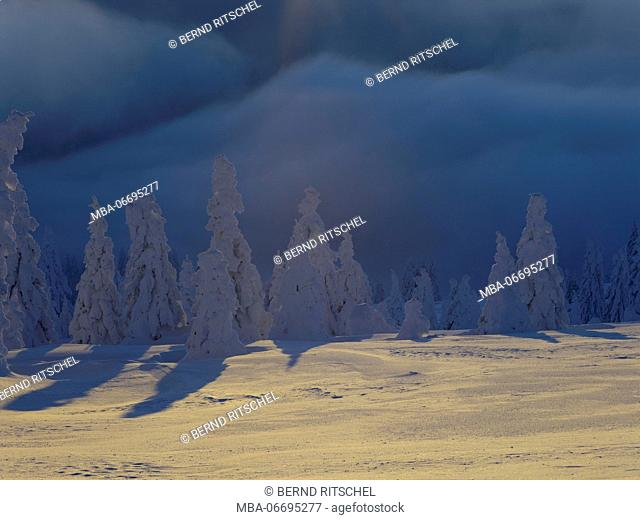 Winter forest in the summit range of the Feldberg, Black Forest, Baden-Wuerttemberg, Germany