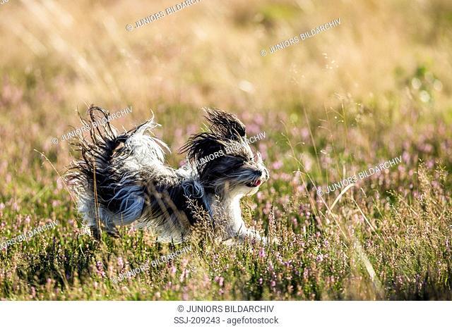 Biewer Terrier. Adult bitch running in flowering Heath. Germany