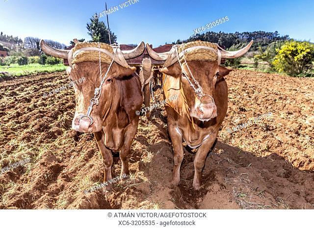 plowing with cows in San Cristóbal de La Laguna (Tenerife island)