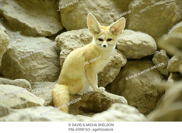 Fennec fox in Augsburg Zoo, Bavaria, Germany