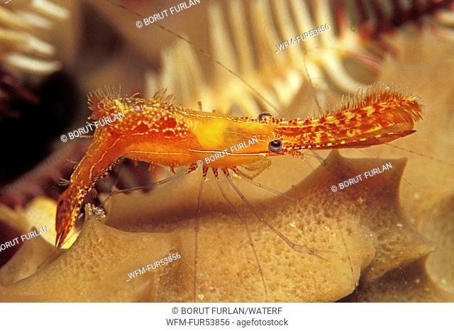 Rock Shrimp, Leander plumosus, Mabul, Borneo, Malaysia