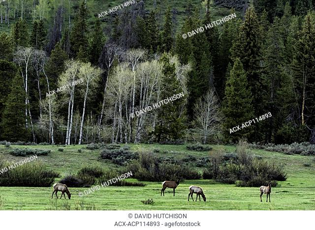 Elk, (Cervus canadensis), Grand Tetons National Park, Wyoming, USA