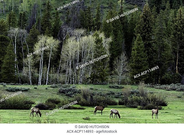 Elk, (Cervus canadensis), Grand Tetons National Park, Wyoming, USA