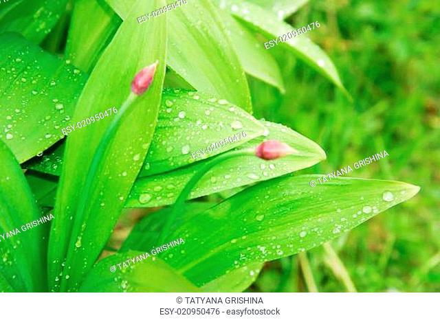 green leaves of wild garlic