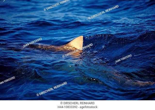 Lemon SharkNegaprion brevirostris, Bahamas, Atlantic Ocean, Aquatic, Atlantic Ocean, Bahamas, Carcharhinidae, Carcharh