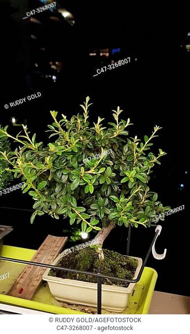 Cotoneaster Evergreen Flowering Bonsai Tree..Cotoneaster microphyllus is a fully frost hardy evergreen variety with tiny little leaves