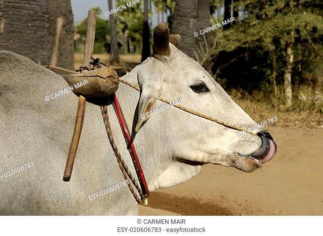 Zebu-Rind in Myanmar