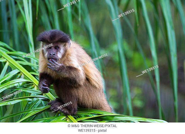 Tufted capuchin (Cebus apella), also known as brown capuchin, black-capped capuchin in a palm tree, Mato Grosso do Sul, Brazil