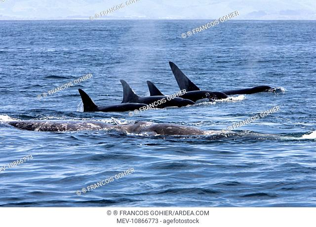 Killer whale / Orca - A pod of Transient type killer whales attacking a Grey whale mother and calf. The calf, already injured, is resting on its mother's back