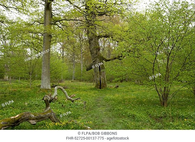 Mature trees, rotting logs and wildflowers, in ancient deciduous woodland, Halltorps Hage Woodland, Oland Island, Sweden, spring