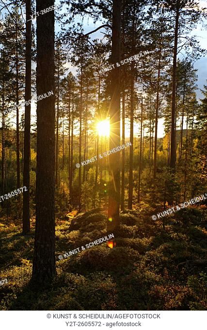 Morning light illuminating a pine forest in Sweden
