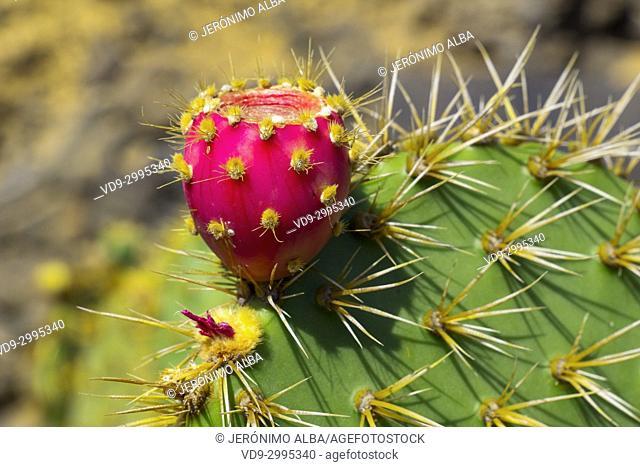Jardin de Cactus. Cactus Garden designed by Cesar Manrique, Risco de las Nieves range, Guatiza. Lanzarote Island. Canary Islands Spain. Europe