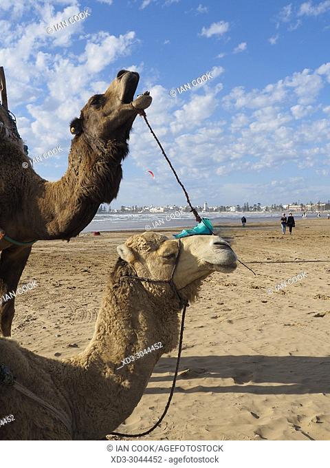 camels on Tagharte Beach, Essaouira, Morocco