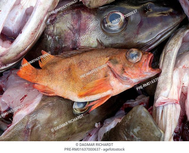 Small Rose Fish (Sebastes norvegicus) between Cod heads, Svolvær, Lofoten, Nordland, Norway / Kleiner Rotbarsch (Sebastes norvegicus) zwischen Dorschköpfen