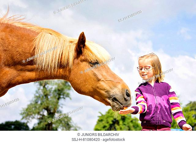 Icelandic Horse. Girl giving chestnut mare a reward. Austria
