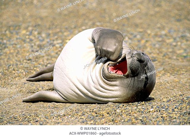Recently weaned southern elephant seal pup Mirouanga leonina loafing on the beach, Patagonia, southern Argentina, South America