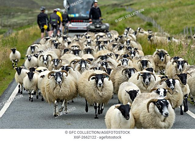 A flock Scottish Blackface sheep disrupting traffic on a narrow country road, Isle of Skye, Scotland, Great Britain