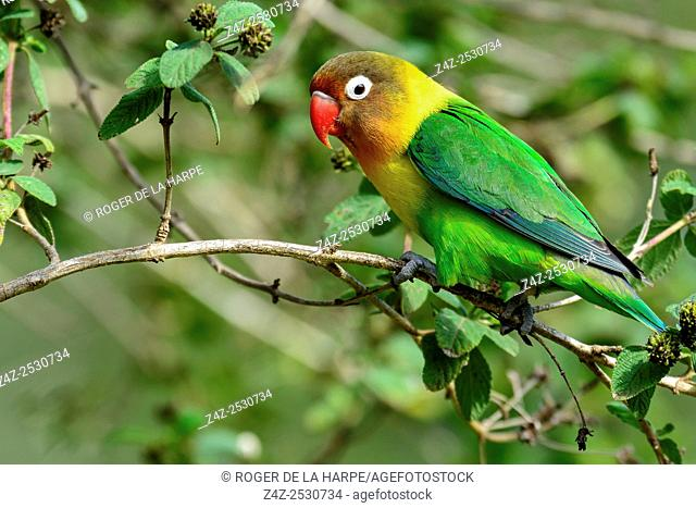 Fischer's Lovebird (Pavel Chonya). Lake Naivasha. Naivasha. Great Rift Valley. Kenya