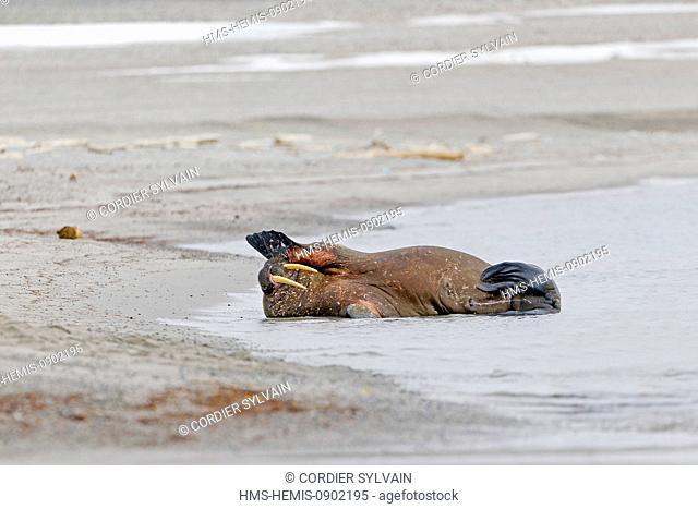 Norway, Svalbard, Spitsbergern, Walrus (Odobenus rosmarus) colony resting on the beach