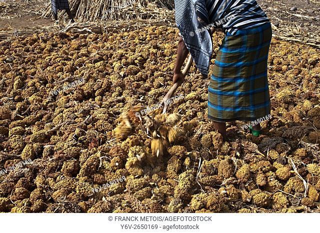 Sorghum harvest. The man is a farmer belonging to the Oromo ethnic group. He is muslim. Near Bati ( Amhara state, Ethiopia)